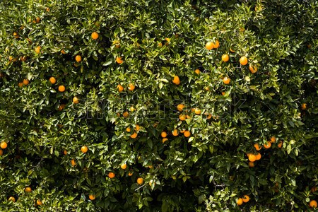 Oranje plantage boom Stockfoto © boggy