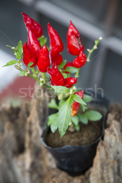 Chili peppers in a pot Stock photo © boggy