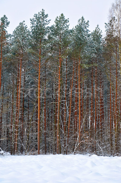 Hiver forêt paysage arbres ciel herbe Photo stock © bogumil