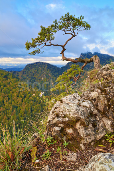 The relic pine at the top of Sokolica mountain. Stock photo © bogumil