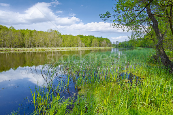 Spring landscape with Sweet Flag in The Narew River. Nature rese Stock photo © bogumil