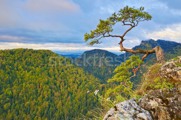 Relic pine at top of The Sokolica Mountain. Stock photo © bogumil