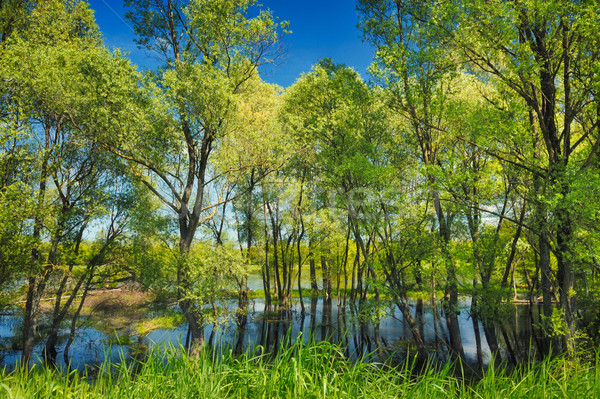 Background with trees in the swamp near Narew river, Poland Stock photo © bogumil