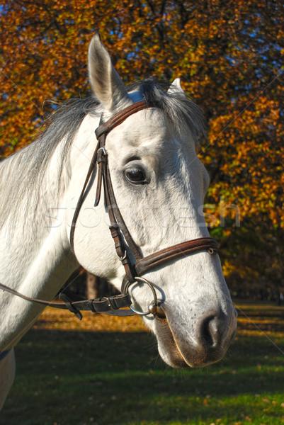 horse Stock photo © bokica