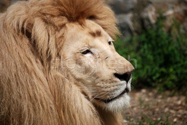 Stok fotoğraf: Beyaz · aslan · yakın · yüz · doğa