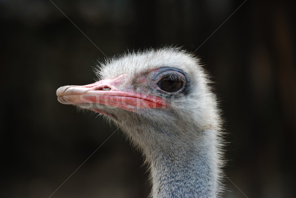 Close up of ostrich Stock photo © bokica