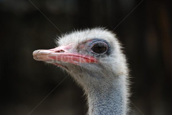 ダチョウ 顔 羽毛 肖像 面白い ストックフォト © bokica