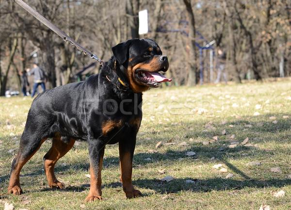 Mooie rottweiler hond poseren dienst sterke Stockfoto © bokica