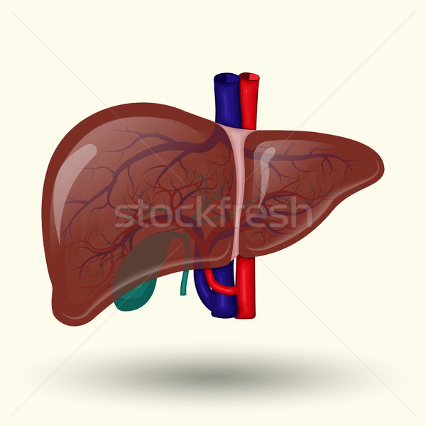 Human liver icon Stock photo © BoogieMan