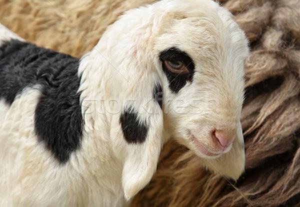 白 子羊 肖像 黒白 赤ちゃん ストックフォト © borna_mir
