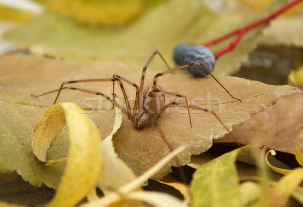 Dev örümcek yaprak orman zemin ele geçirmek Stok fotoğraf © borna_mir