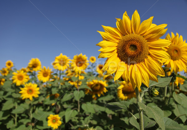 Tournesols paysage horizontal coup belle tournesol Photo stock © borna_mir