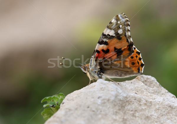 Turuncu kelebek taş güzel oturma kaya Stok fotoğraf © borna_mir