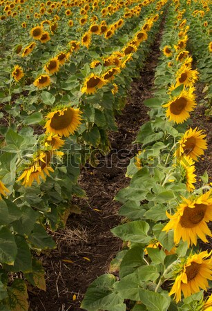 Zonnebloemen veld bloem landschap achtergrond Stockfoto © borysshevchuk