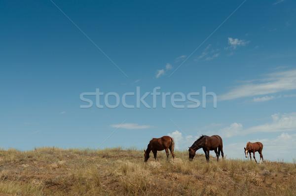 Cavalo potro dois cavalos Foto stock © borysshevchuk