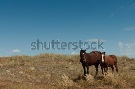 Wild horses in the steppe Stock photo © borysshevchuk