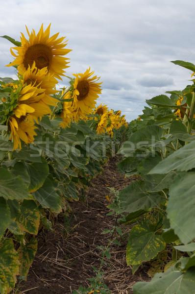 Bloei zonnebloemen bewolkt hemel bloem landschap Stockfoto © borysshevchuk