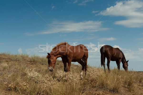 Grazing horses in the steppe. Stock photo © borysshevchuk