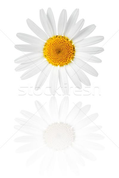 Camomila flor branco macro tiro flores Foto stock © Bozena_Fulawka