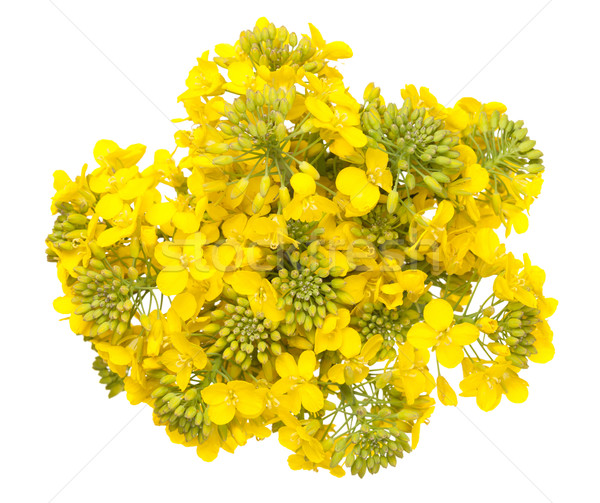 Rapeseed Flower Isolated on White Background Stock photo © Bozena_Fulawka
