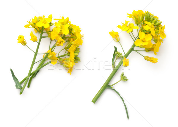 Rapeseed Flowers Isolated on White Background Stock photo © Bozena_Fulawka