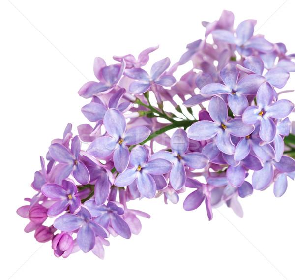 Lilac Flower Stock photo © Bozena_Fulawka