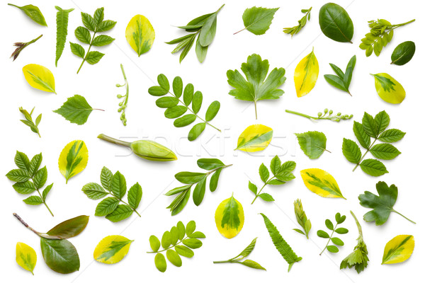 Green Leaves Isolated on White Background Stock photo © Bozena_Fulawka