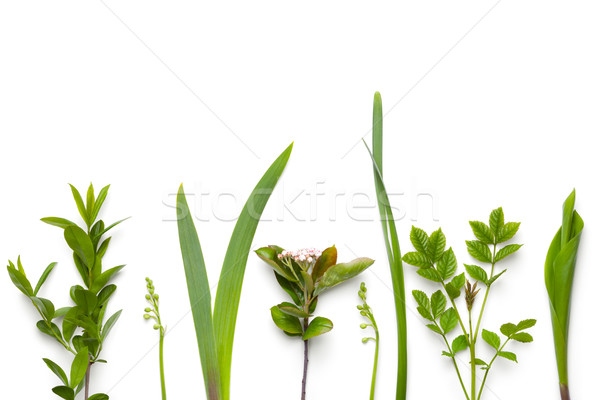 Green Plants Isolated on White Background Stock photo © Bozena_Fulawka