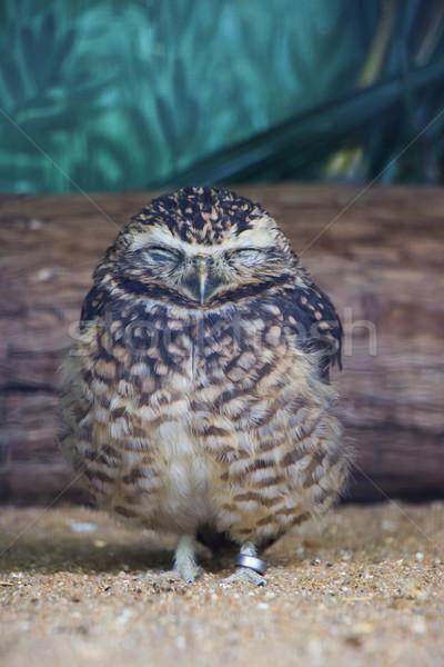 Cute Burrowing Owl Sleeping Stock photo © bradleyvdw