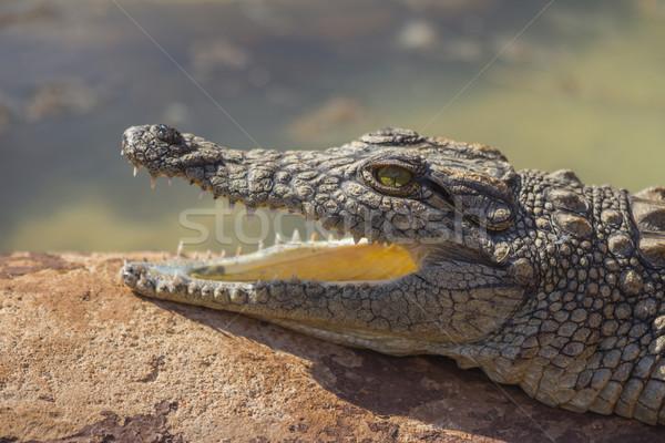 Kicsi krokodil nyitott szájjal zöld száj folyó Stock fotó © bradleyvdw