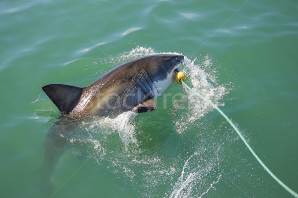 Great White Shark Attacking Decoy 5 Stock photo © bradleyvdw