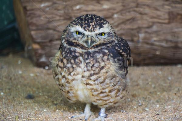 かわいい フクロウ 肖像 監禁 目 鳥 ストックフォト © bradleyvdw