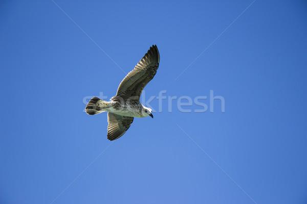 Vuelo gaviota cielo azul fondo cielo agua Foto stock © bradleyvdw