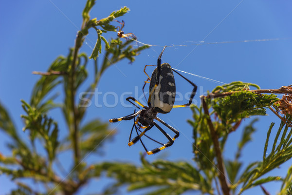 Golden Orb Weaver Spider with a Young Baby 2 Stock photo © bradleyvdw
