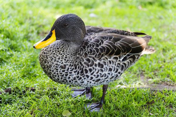 Yellow Billed Duck on Green Grass Stock photo © bradleyvdw