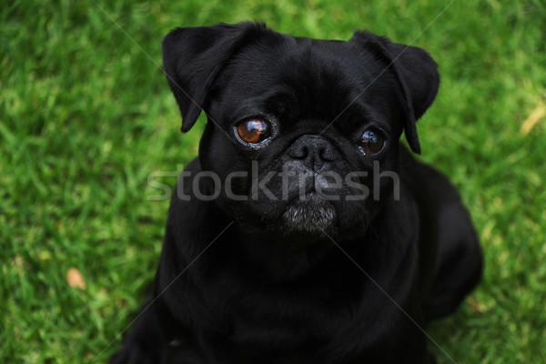 愛らしい 黒 屋外 肖像 屋外 緑の草 ストックフォト © bradleyvdw