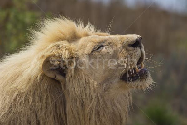 男性 白 ライオン 太陽 開口部 ピンク ストックフォト © bradleyvdw
