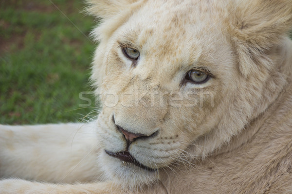 White Lion Cub Portrait 2 Stock photo © bradleyvdw