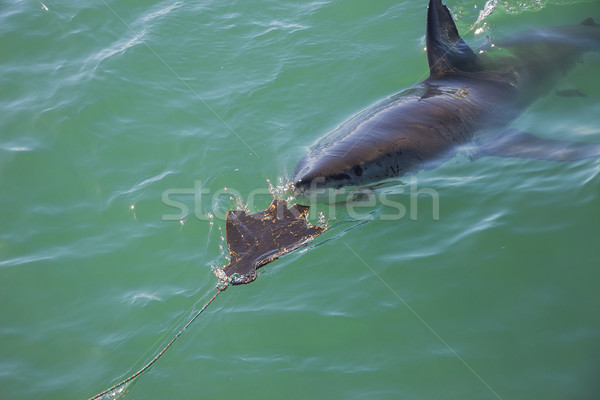 Great White Shark Stalking Decoy 7 Stock photo © bradleyvdw