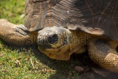 черепаха портрет глаза лице трава Сток-фото © bradleyvdw