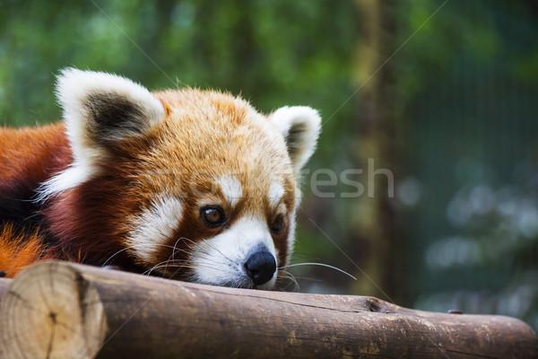 赤 パンダ 肖像 緑 ストックフォト © bradleyvdw