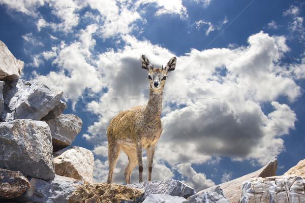 Klipspringer (Buck) on Rocks Against A Blue Sky Stock photo © bradleyvdw
