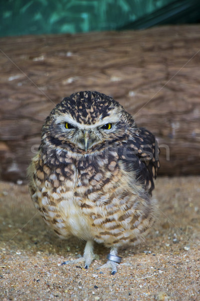 Stock photo: Cute Burrowing Owl Portrait 2