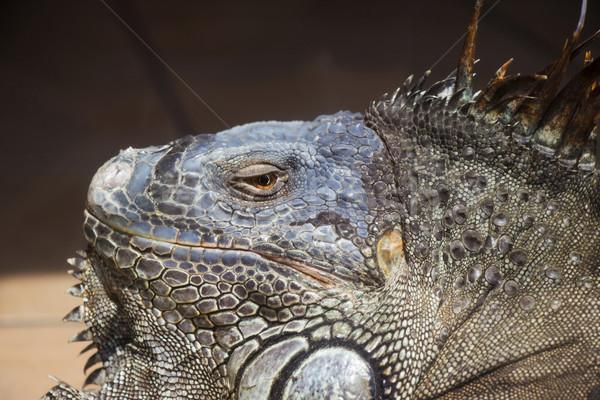 Groene leguaan oog Stockfoto © bradleyvdw