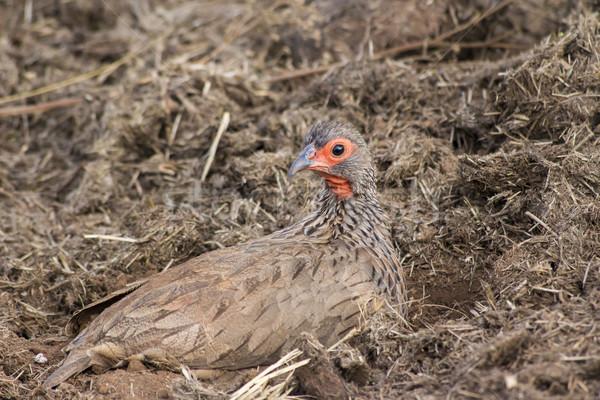 Baromfi ül állat arc fű madár Stock fotó © bradleyvdw