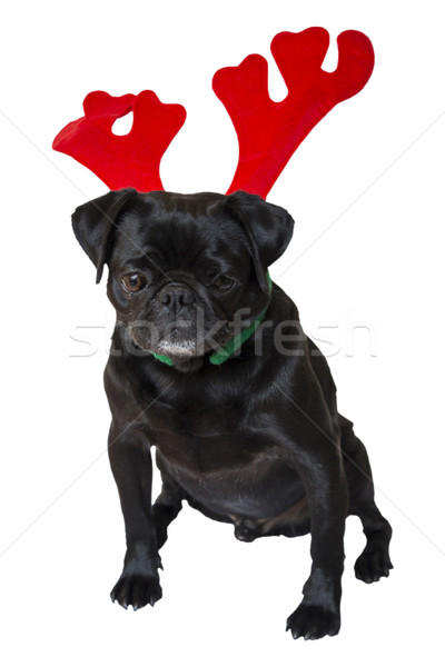 Black Pug Wearing Christmas Attire 5 Stock photo © bradleyvdw