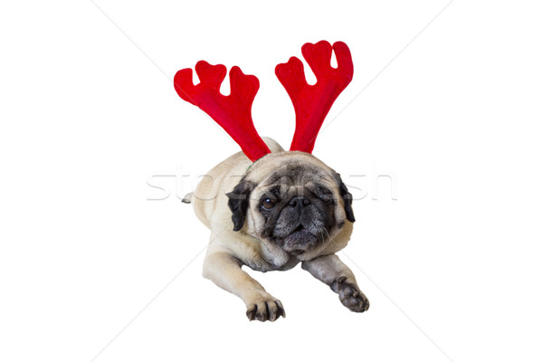 Beige Pug Wearing Christmas Attire 5 Stock photo © bradleyvdw