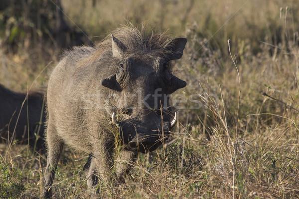 肖像 アフリカ 茂み 草 公園 ゲーム ストックフォト © bradleyvdw