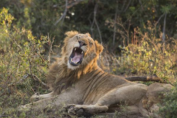 ライオン 小さな 男性 草 髪 ストックフォト © bradleyvdw