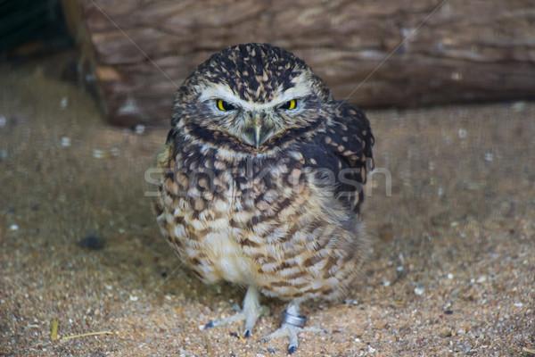 Sevimli baykuş portre esaret gözler kuş Stok fotoğraf © bradleyvdw